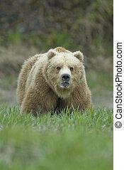 Gran oso marrón mostrando dientes. Mcneil River Alaska.