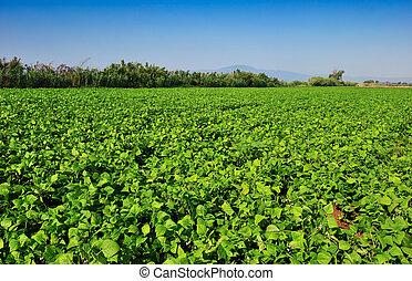 Gran plantación de frijoles