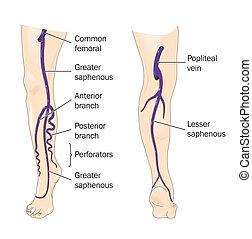 Grandes venas de la pierna