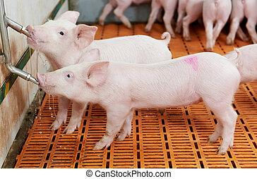 granja, bebida, cerdo, cerdito, joven