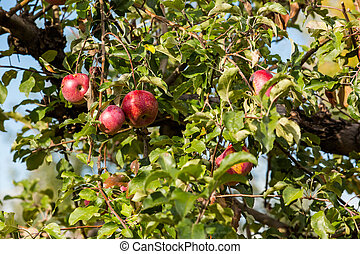 Granja de manzanas