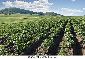 Granjando un campo de papas