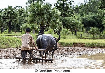 Granjero arando un campo usando un búfalo, Tailandia