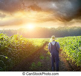 Granjero caminando en campos de maíz al atardecer