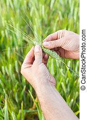 Granjero con trigo en las manos