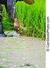 Granjero trabajando plantando arroz en la granja de Tailandia del sudeste de Asia