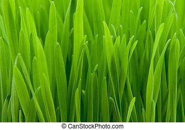 Grano de trigo