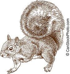 gris, oriental, ardilla, grabado, ilustración