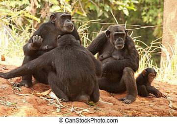 grupo, chimpancé