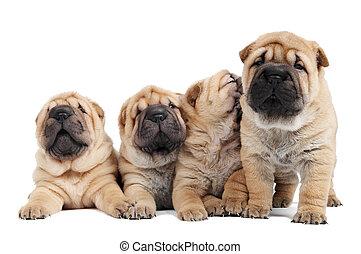 Grupo de perritos Sharpei