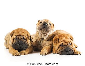 Grupo de tres hermosos cachorros Sharpei aislados en el fondo blanco