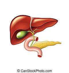 Hígado humano, vesícula biliar, vector de anatomía del páncreas