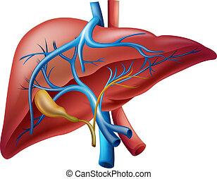 Hígado interno