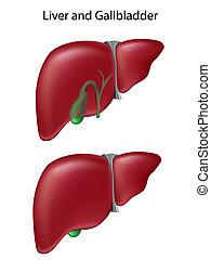 Hígado y vesícula
