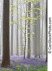 Hallerbos beech Forest con campanillas