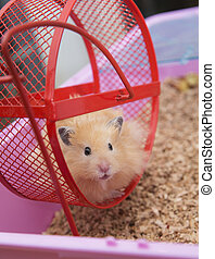 Hamster al volante