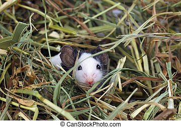 heno, poco, ratón, sentado