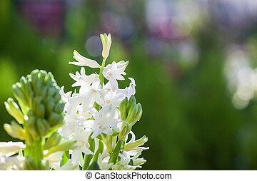 Hermosa primavera blanca floreciente de jacinto con colorido fondo verde