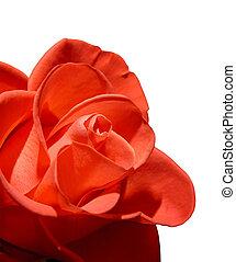 Hermosa rosa roja, macro aislada de fondo blanco