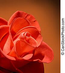 Hermosa rosa roja macro de fondo marrón