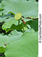 Hermosa semilla de loto en el estanque
