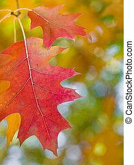 Hermosas hojas de roble rojo otoñal