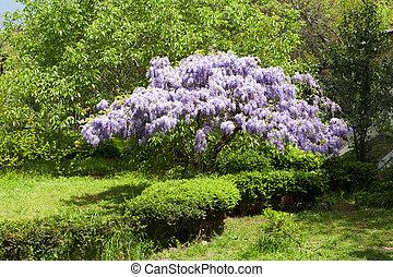 hermoso, árbol floreciendo, glicina