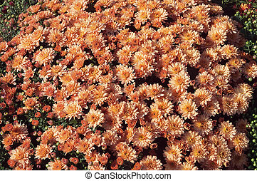 Hermoso arbusto de crisantemos naranjas