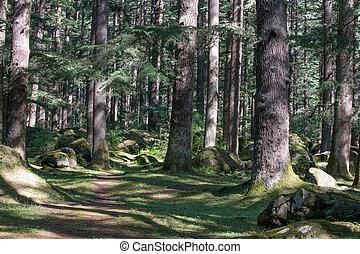 Hermoso bosque de pino en manali, pradesh herachal, India