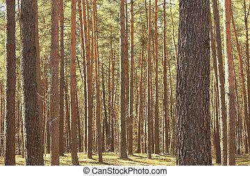 Hermoso bosque de pinos de verano