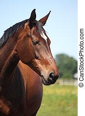 hermoso, caballo, casta, letón, bahía