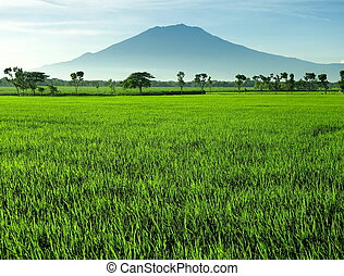 Hermoso campo de arroz