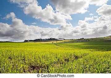 Hermoso campo de caña de azúcar