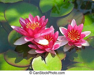hermoso, flor, loto, hojas, agua, verde, florecer, lirio de la charca, rojo