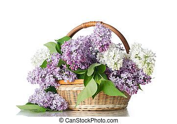 hermoso, fondo blanco, aislado, lila