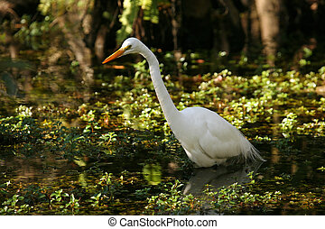 Hermoso gran egret en Florida Everglades
