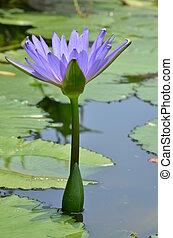 Hermoso lirio de agua en el estanque