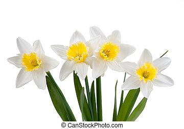 hermoso, narciso, primavera