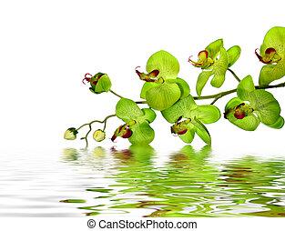 hermoso, orquídea