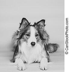 Hermoso perro fronterizo