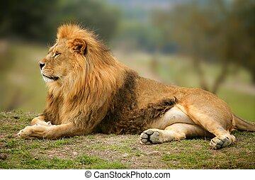 Hermoso retrato animal salvaje de León