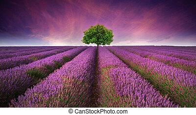 hermoso, verano, contrastar, imagen, árbol, campo lavanda, colores, ocaso, paisaje, horizonte, solo
