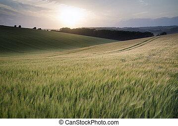 hermoso, verano, trigo, cosecha, campo, ocaso, crecer, durante, paisaje