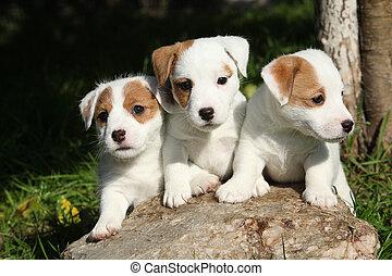 Hermosos cachorros de Jack Russell Terrier