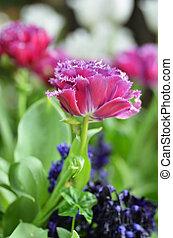 Hermosos tulipanes