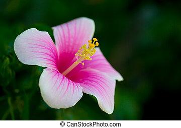 Hibico rosa