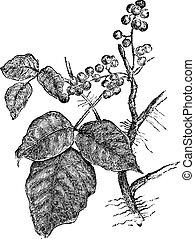 Hiedra venenosa (Rhus Toxicodendron), grabado añeja.