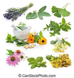 hierba, fresco, colección, medicinal