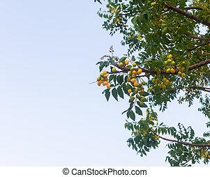 hierba, tradicional, siamés, ser, fruta, popular, parte, neem, árbol., remedios, medicinal