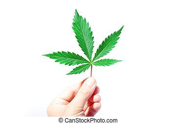 hoja, marijuana, cannabis, asideros, verde, médico, fondo., mano, blanco